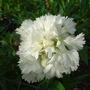 Dianthus_-_3.jpg (Dianthus)