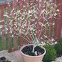 Salix Itegra 2 year cutting (salix Integra)