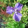 Iris ensata - 1 (Iris ensata)