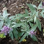 Buddleia_buzz_dwarf_buddleia..good_for_a_pot.