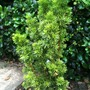 Taxus media 'Stricta Viridis'