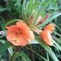 Oenothera versicolor 'Sunset Boulevard' (Oenothera versicolor 'Sunset Boulevard')