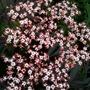 Sambucus nigra - Black Lace (Sambucus nigra 'Black Lace')