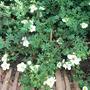 Potentilla fruticosa 'Manchu' (Potentilla fruticosa)