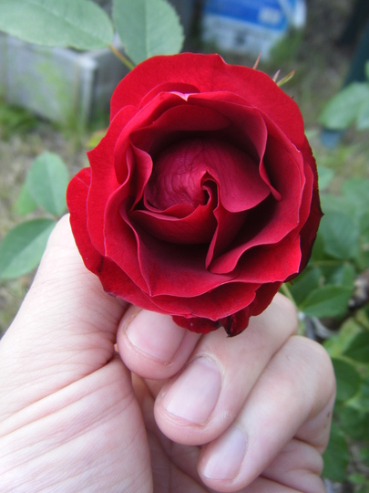 First Rose, Adelaide Hoodless, 4yrs old (Rosa x 'Adelaide Hoodless Rose')