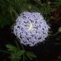 Didiscus_caeruleus_madonna_