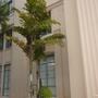 Caryota mitis - Clustering Fishtail Palm (Caryota mitis - Clustering Fishtail Palm)