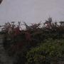birds enjoying the cotoneaster berries