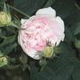 Rosa_maidens_blush_