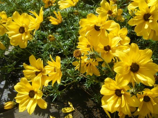 Biden, Double flowering