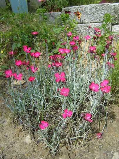 Dianthus, 'wicked witch' (Dianthus gratianopolitanus (Cheddar Pink))