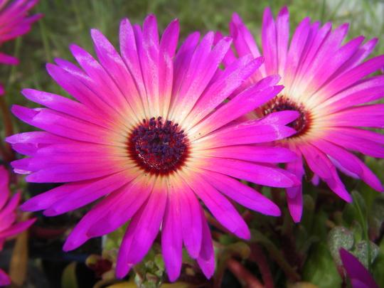Mesembreanthemum (Mesembryanthemum crystallinum (Buzotu))