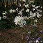 Magnolia stellata Royal Star and anemone blanda