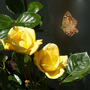 roses yellow butterfly