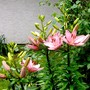 Pink Lily is out. (Lilium vivaldi)