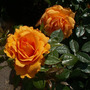 Apricot_rose