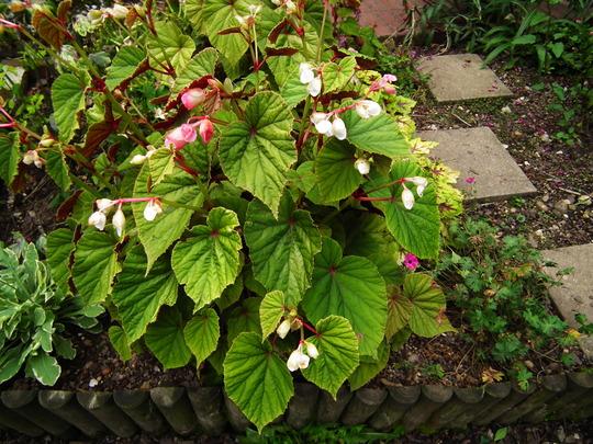 Begonia grandis ssp. evansiana (Begonia grandis ssp. evansiana)