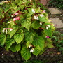 Begonia grandis ssp. evansiana (Begonia grandis ssp. evansiana)