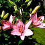 One flower head.of pink Lily (Lilium vivaldi)