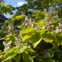 Indian Bean Tree