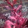 Berberis Thunbergii 'Rose Glow' (Berberis thunbergii (Barberry))