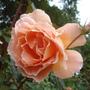 Rose 'Tea Clipper' (Rosa multiflora (Rose))
