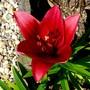 Dark pink lily in front garden (Lilium vivaldi)