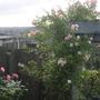 Roses_handel_and_phyllis_bides_still_in_flower_7_sept_11.