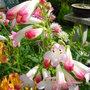 Penstemon - 'Apple Blossom'