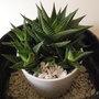 Hawortia Limifolia - Cactus
