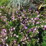 Cuphea hyssopifolia (Cuphea)