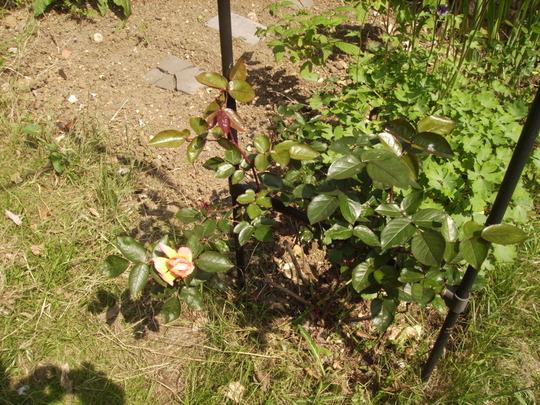 Climbing Rose 'Handel'  06.08 (Rosa ?)
