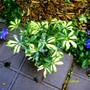 Dwarf variegated Schefflera