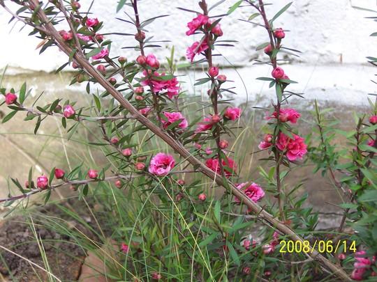 Leptospermum_Red_Damask_1.jpg (Leptospermum scoparium (New Zealand tea tree) 'Red Damask')