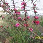 Leptospermum_Red_Damask_1.jpg (Leptospermum scoparium (New Zealand tea tree) 'Red Damask')