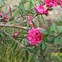 Leptospermum scoparium (New Zealand tea tree) 'Red Damask'