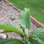 Eriobotrya_Japonica__Chinese_Loquat_.jpg (Eriobotrya japonica (Loquat))