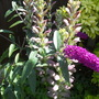 Acanthus and Buddleija