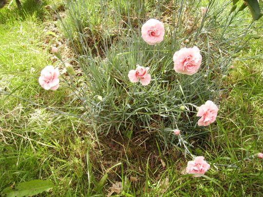 Unidentified Dianthus [Pink} again 06.08 (Dianthus allwoodii.)