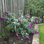 Buddliea Buzz - Magenta (Buddleia 'Buzz')