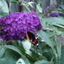 DSC01572 (Buddleia 'Buzz')