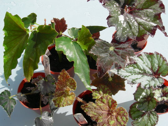 """Our """"Wizard of Oz"""" begonia collection"""