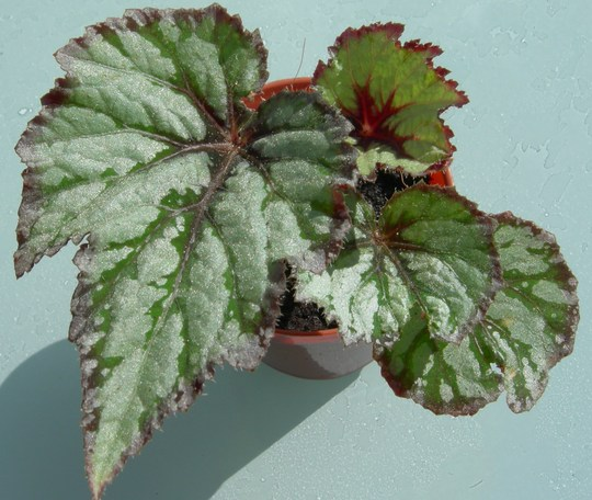 "Begonia ""Emerald Beauty"""