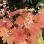Heucherella 'sweet tea'