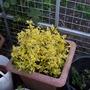 rescued yellow shrub
