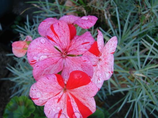 "Geranium ""Raspberry Ripple"""