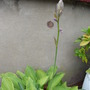 HOSTA ALMOST IN  BLOOM