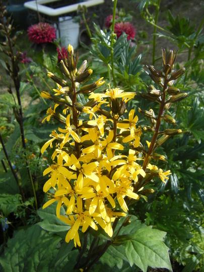 Ligularia stenocephala 'little rocket' (Ligularia stenocephala)