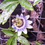 passion flower 03