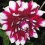 another dahlia from the 'Raspberry Ripple' collection